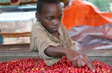 rwanda-coffee-photograp-dan-barlow-2